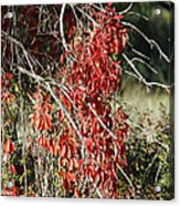 Autumns Red Vines Acrylic Print