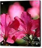 Azalea Blossoms Acrylic Print