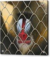Baboon Behind Bars Acrylic Print