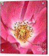 Babs Pink Acrylic Print