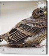 Baby Bird 1 Acrylic Print