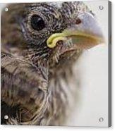 Baby Bird 3 Acrylic Print by Jessica Velasco