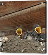 Baby Birds  Picture Acrylic Print by Preda Bianca