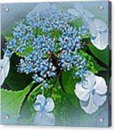 Baby Blue Lace Cap Hydrangea Acrylic Print