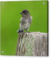 Baby Bluebird On Post Acrylic Print