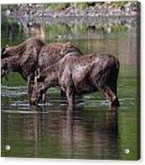 Baby Bulls Acrylic Print