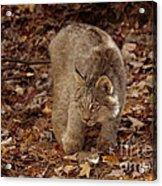 Baby Canada Lynx Stalking A Squirrel Acrylic Print