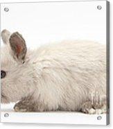 Baby Colorpoint Rabbit Acrylic Print