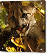 Baby Cougar Playing Peek A Boo In Autumn Forest Acrylic Print