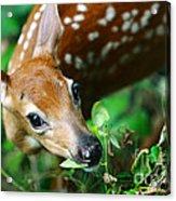 Baby Deer Acrylic Print