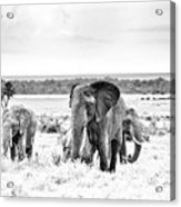 Baby Elephants -black And White Acrylic Print