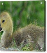 Baby Goose Takes A Break Acrylic Print