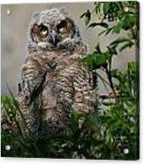 Baby Great Horned Owl Acrylic Print