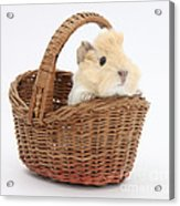 Baby Guinea Pig In A Wicker Basket Acrylic Print