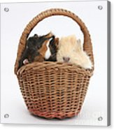 Baby Guinea Pigs In A Wicker Basket Acrylic Print