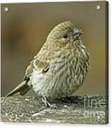 Baby House Finch Acrylic Print
