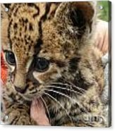 Baby Jaguar Acrylic Print