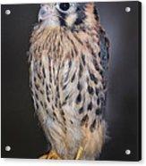 Baby Kestrel Falcon Acrylic Print
