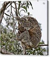 Baby Koala Acrylic Print