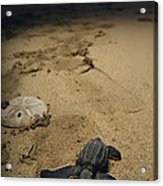 Baby Leatherback Turtle On Beach Acrylic Print
