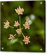 Baby Queen Anne's Lace Acrylic Print