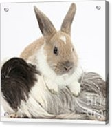 Baby Rabbit And Long-haired Guinea Pig Acrylic Print
