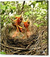 Baby Robins Acrylic Print
