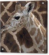 Baby Rothschild Giraffe  Acrylic Print