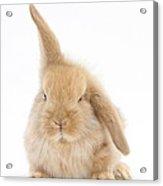 Baby Sandy Lop Rabbit Acrylic Print