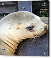 Baby Seal Acrylic Print