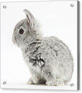 Baby Silver Rabbit Acrylic Print