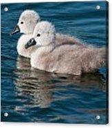 Baby Swans Acrylic Print