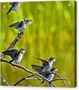 Baby Tree Swallows Feeding #1 Acrylic Print