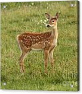 Baby Whitetail Fawn In A Spring Meadow Acrylic Print