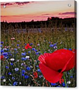 Bachelor Buttons And Poppies Acrylic Print