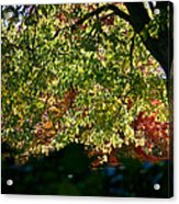 Backlit Autumn Acrylic Print