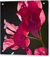 Backlit Pink Acrylic Print