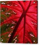Backlit Red Leaf Acrylic Print