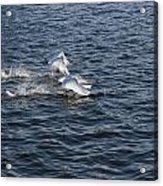 Backlit Swans Acrylic Print