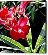 Backyard Red Beauty Acrylic Print