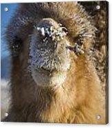 Bactrian Camel Camelus Bactrianus Acrylic Print