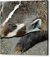 Badger On The Loose Acrylic Print