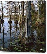 Bald Cypress At Upper Blue Basin This Acrylic Print