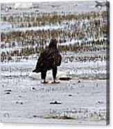 Bald Eagle - Immature - 0031 Acrylic Print
