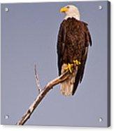 Bald Eagle - Pride Of America Acrylic Print
