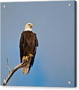 Bald Eagle - Symbol Of Justice Acrylic Print