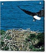 Bald Eagle And Chicks Acrylic Print