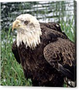 Bald Eagle At Riverside  Acrylic Print