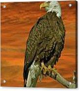 Bald Eagle At Sunrise Acrylic Print