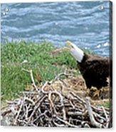 Bald Eagle Calling Acrylic Print